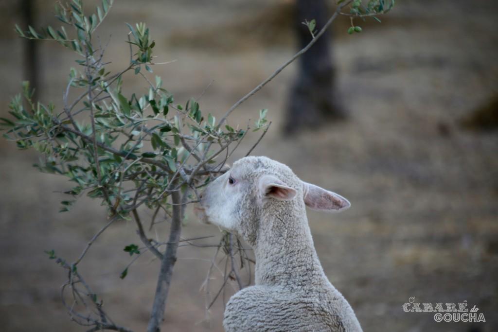 ovelhas11