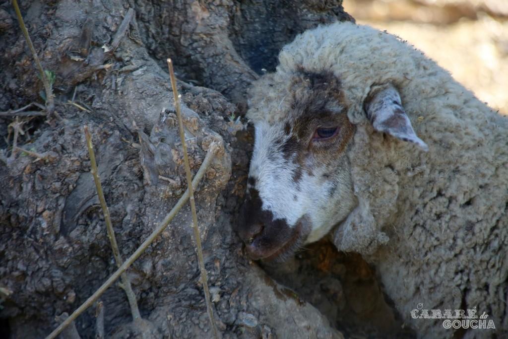 ovelhas12