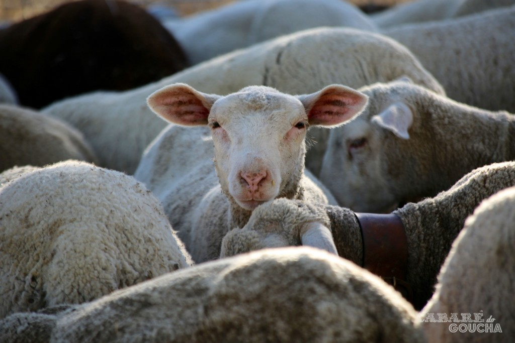 ovelhas13