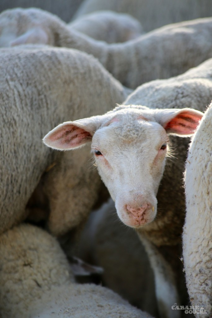 ovelhas14