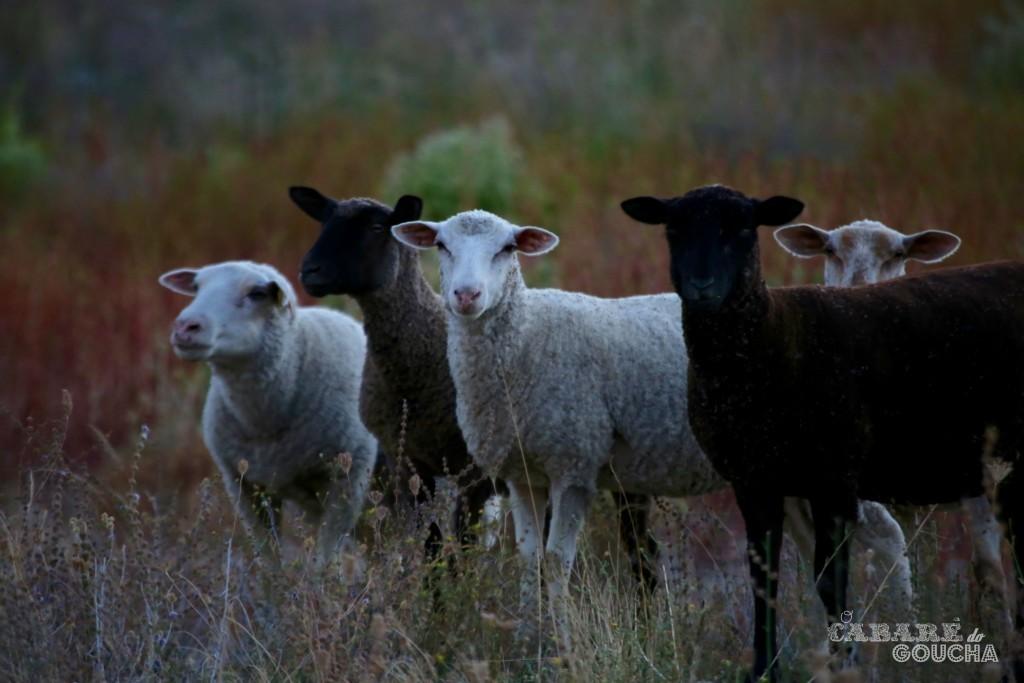 ovelhas15